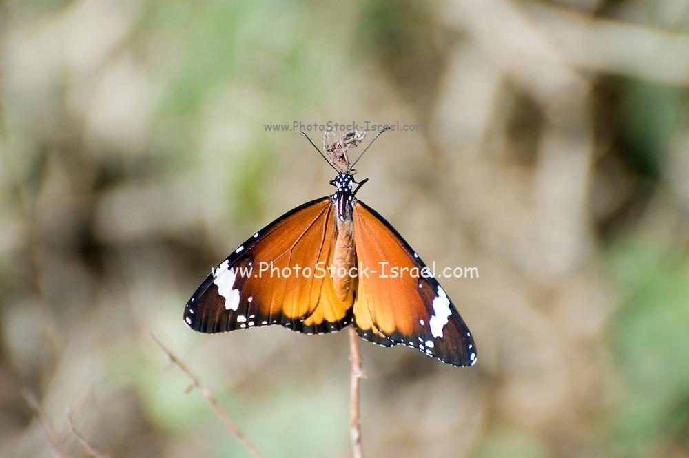 Israel, Coastal Plains, Lesser Fiery Copper (Lycaena thersamon) Butterfly.