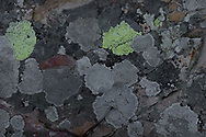 A lichen is two organisms functioning as one stable unit. Lichens comprise a fungus on the surface, living in a symbiotic relationship with algae or cyanobacterium (or both in some instances). They are very sensitive to air pollution. The green/yellow lichen in this image is a crust lichen called Rhizocarpon Geographicum, commonly known as map lichen.