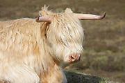 Highland cow, domestic cattle, Bos tarus, female, Isle of Skye, Skye & Lochalsh, Highland.<br /> animal; animals; mammal; mammals; cattle; cows;<br /> mother; grass; grassland; sunny; bright; close-up;<br /> white; brown; summer; season; seasons; farm; farmland;<br /> wildlife;