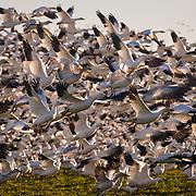 Migrating Snow Geese erupting in flight. Fir Island - Skagit, Washington