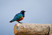 Superb starling (Lamprotornis superbus). Superb starlings are very common throughout East Africa, where they live in large flocks that are frequently found feeding on the ground. Photographed in Serengeti, Tanzania