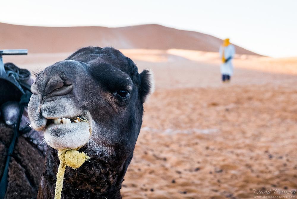 Dromedary and camel-driver