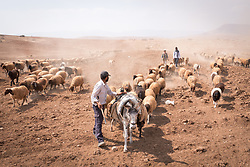 6 October 2018, Jordan Valley, West Bank, Occupied Palestinian Territories: 40-year-old Deab Abu Malik herds his sheep in the Jordan Valley on the West Bank. After the morning's graze, Deab leads his flock of sheep homeward. The pace is carefully monitored, with regular stops for moments of rest. He says it's important the sheep do not burn too quickly the nutrition they've just picked up. Ecumenical Accompaniers from the World Council of Churches Ecumenical Accompaniment Programme in Palestine in Israel accompany shepherds in many parts of the West Bank, providing an international presence known to have a mitigating effect on confrontations between Israeli settlers and the Palestinians. EAs' presence also helps Palestinians access lands they otherwise might not have dared to continue to cultivate. In the West Bank's Area C, any land that isn't cultivated for a period of three years becomes property of the state, the shepherds explain, so accessing their lands regularly is vital for the communities and their herds.