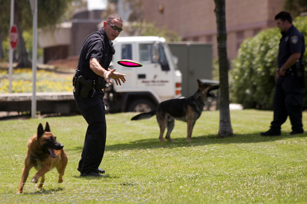 """Oakland police K9 handlers Dan Sakai, left, and Sam Armerding train their partners, """"Doc,"""" a Belgian Malinoise and """"Drake,"""" a German shepherd, every day between calls.  But sometimes you just have to let dogs be dogs, so at the end of a session, Doc gets to chase a flying disc while Drake gets out of the sun and has it made in the shade, Monday, June 4, 2007 in Oakland, Calif. (D. Ross Cameron/The Oakland Tribune)"""