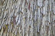 Tree bark pattern. Owyhigh Lakes Trail, near White River Campground in Mount Rainier National Park, Washington, USA.