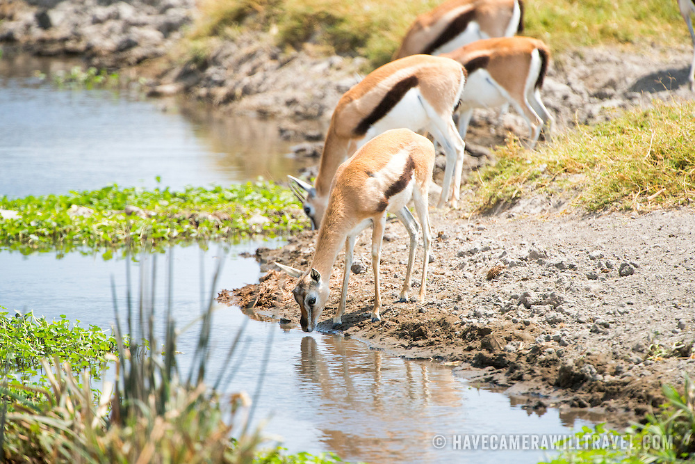 Thomson's gazelle drinking at a stream at Ngorongoro Crater in the Ngorongoro Conservation Area, part of Tanzania's northern circuit of national parks and nature preserves.