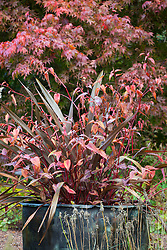 Phormium tenax 'Purpureum Group' with Persicaria microcephala 'Red Dragon'  in a copper container at Glebe Cottage with Acer palmatum in the background