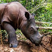 Sumatran Rhino