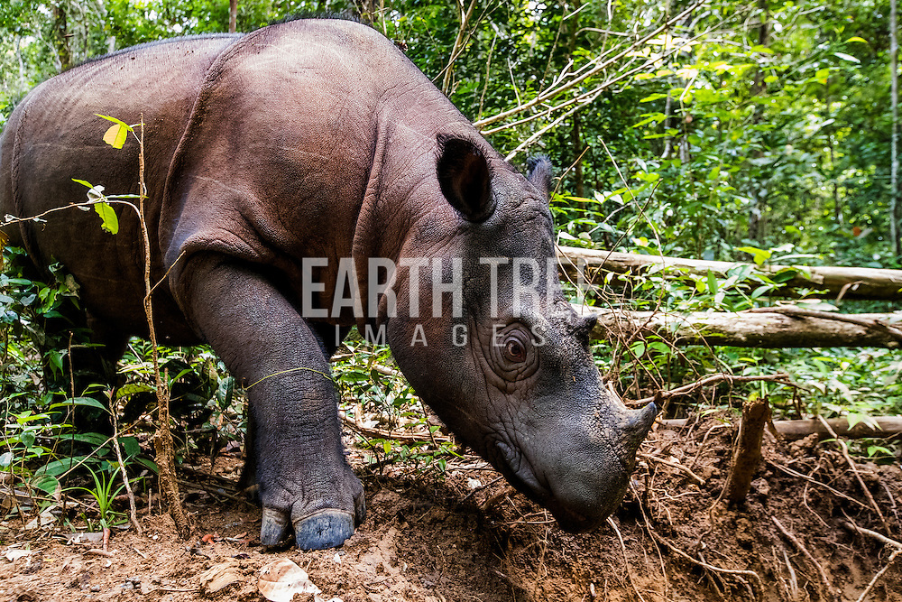 A critically endangered Sumatran rhino is pictured at the recue centre in south Sumatra, Indonesia. The Leuser Ecosystem is one of the last places with a viable population to save the species under the right conditions. Photo: Paul Hilton for RAN A critically endangered Sumatran rhino is pictured in a rehabilitation center in south Sumatra. Photo: Paul Hilton / Earth Tree Images