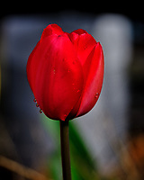 Red Tulip flower with water droplets. Image taken with a Fuji X-T3 camera and 80 mm f/2.8 macro lens (ISO 320, 80 mm, f/5.6, 1/600 sec)