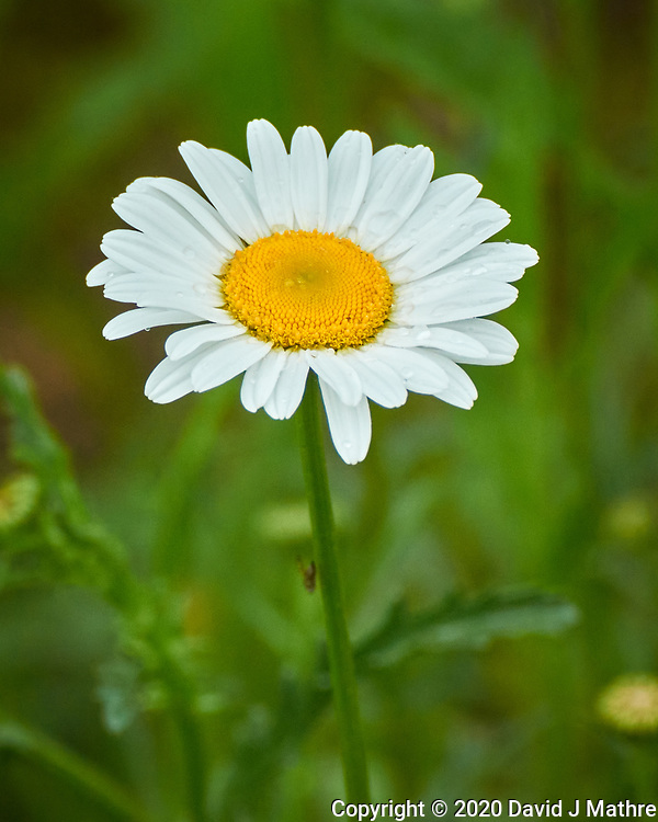 Daisy after the rain. Image taken with a Nikon D850 camera and 60 mm f/2.8 macro lens