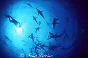 diver and Caribbean reef sharks, Carcharhinus perezi, and blacktip sharks, Carcharhinus limbatus, Walker's Cay, Bahamas ( Western Atlantic )