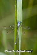 06032-001.01 Amber-winged Spreadwing (Lestes eurinus) male in wetland, Marion Co. IL
