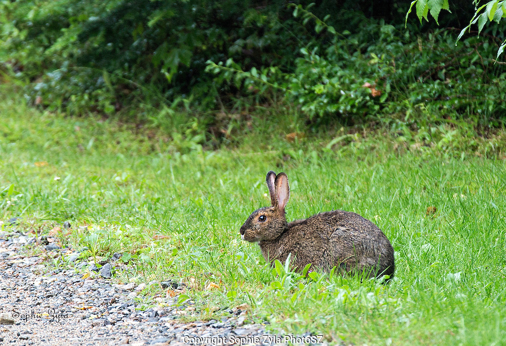 Eastern Cottontail at Milan Hill