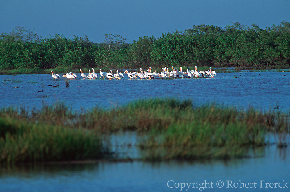 MEXICO, PACIFIC COAST, COLIMA STATE pelicans in a coastal lagoon of salt  marshes and mangroves near Mexcaltitan  north of San Blas