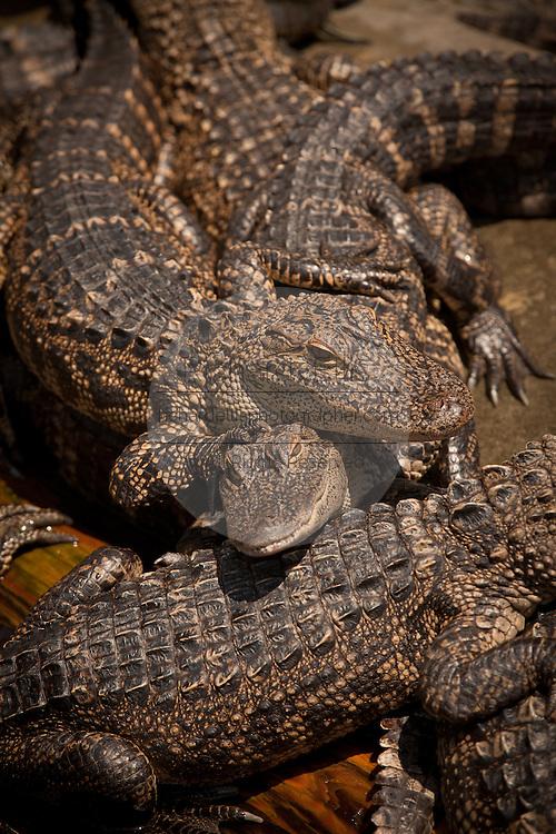 Juvenile American alligators (Alligator mississipiensis) relax on land in Myrtle Beach, SC.