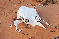 Bleached bones of cattle, Vermilion Cliffs National Monument Utah