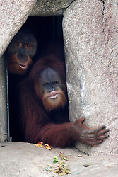 03 September 2005. New Orleans, Louisiana.  Post Hurricane Katrina.<br /> The orangutans peer nervously from their enclosure at the first humans to come and visit them since the storm hit.<br /> Photo Credit ©: Charlie Varley/varleypix.com