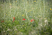 Colza seed crop with poppy seed flowers growing between it