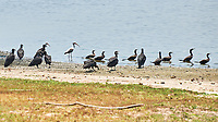 Neotropic Cormorant (Phalacrocorax brasilianus) and Black Vulture (Coragyps atratus). Crooked Tree Wildlife Sanctuary. Image taken with a Nikon D3x camera and 70-300 mm VR lens