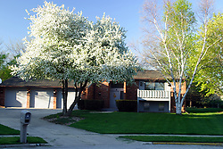 23 April 2006:   a white flowering crab tree stands in front of a suburban home at the top of a cul-de-sac.