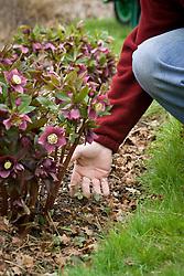 Showing self sown hellebore seedlings