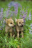 Wolf puppies with lupine flowers, fur wet from playing in dewy meadow.  [These animals were born and raised in captivity, photographed in an outdoor setting in Montana.] © David A. Ponton