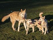 Star, Silver & Brutus - Dog Park Play