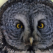 Great Gray Owl (Strix nebulosa).  A close-up portrait of an adult in the spring.