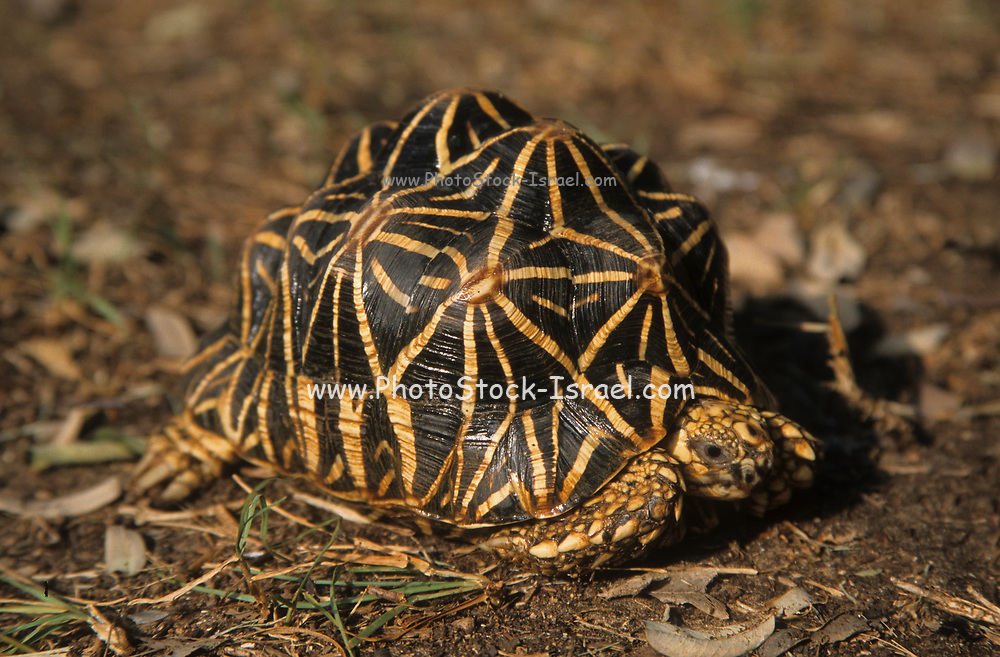 Indian star tortoise (Geochelone elegans). This species of tortoise is found in dry areas and scrub forest of India and Sri Lanka.