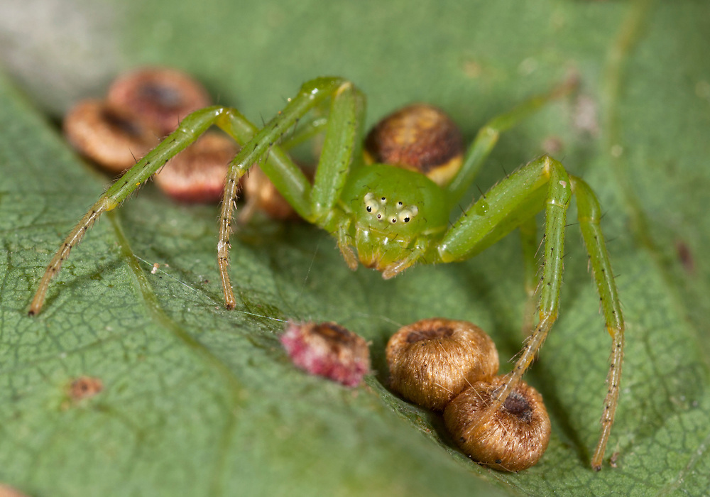 Diaea dorsata - Female. A Thomisid crab spider adapted to arboreal life in the canopy of woodlands. It is fairly common in the southern half of Britain.