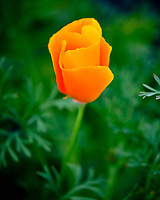 California Poppy flower. Image taken with a Fuji X-T3 camera and 80 mm f/2.8 macro lens (ISO 320, 80 mm, f/2.8, 1/3000 sec).