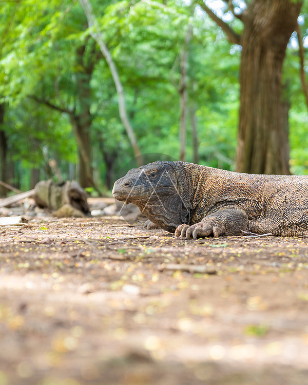 View of a Komodo dragon, a typical reptile animal on Komodo island in Indonesia.