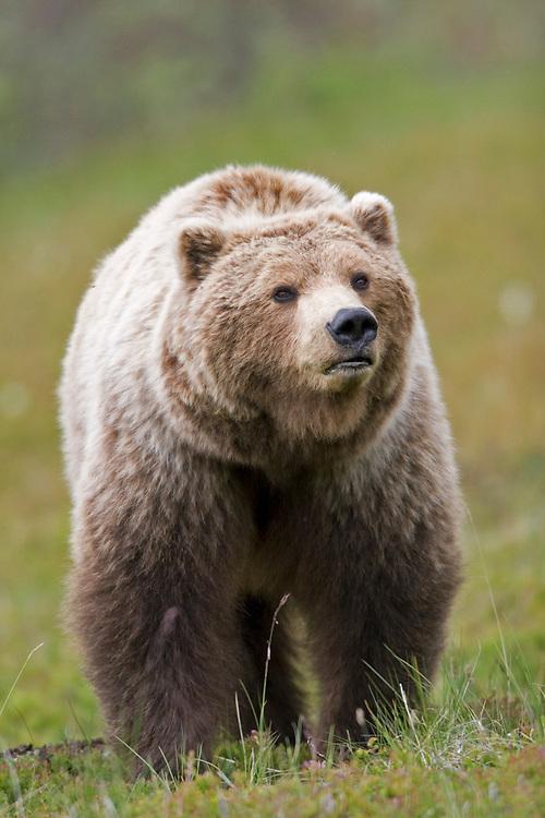 Grizzly (Brown) Bear, Ursus arctos, Highway Pass, Denali National Park, Alaska. Digital original ©Robin Brandt #07_7210