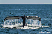 humpback whale, Megaptera novaeangliae, fluking up to dive off Grand Manan Island, Bay of Fundy, New Brunswick, Canada ( North Atlantic Ocean )