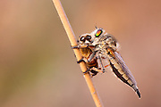 robber fly (Asilidae) feeds off a captured honey bee by sucking out the body fluids of the prey