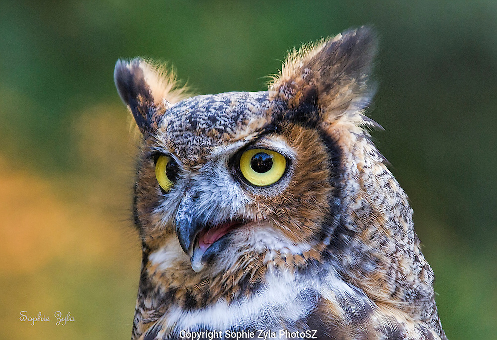 I'm cute and want my own show<br /> Great Horned Owl Amber APCH