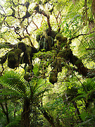 View of temperate rainforest, Catlins, McLeans Falls, Clutha, New Zealand
