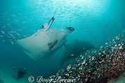 diver photographs reef manta rays, Manta alfredi (formerly Manta birostris ), at patch reef cleaning station at mouth of Hanifaru Bay, Hanifaru Lagoon, Baa Atoll, Maldives ( Indian Ocean )