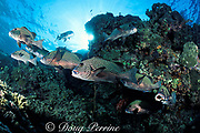 harlequin sweetlips, Plectorhinchus chaetodonoides, queue up at a cleaning station for attention of cleaner wrasses, Labroides dimidiatus, Sipadan, off Borneo, Sabah, Malaysia ( Celebes Sea )