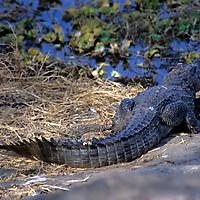 Asia, India, Ranthambore. Marsh Crocodile of Ranthambore.