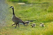 USA, Oregon, Baskett Slough National Wildlife Refuge, Canada Goose (Brant canadensis) and its brood.