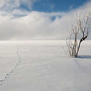 Winter landscape, Summit Mountain- des Allebasses, with fox tracks in the snow and a unidentified tree.