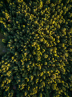 Aerial view above of dense forest during sunset, Netherlands.