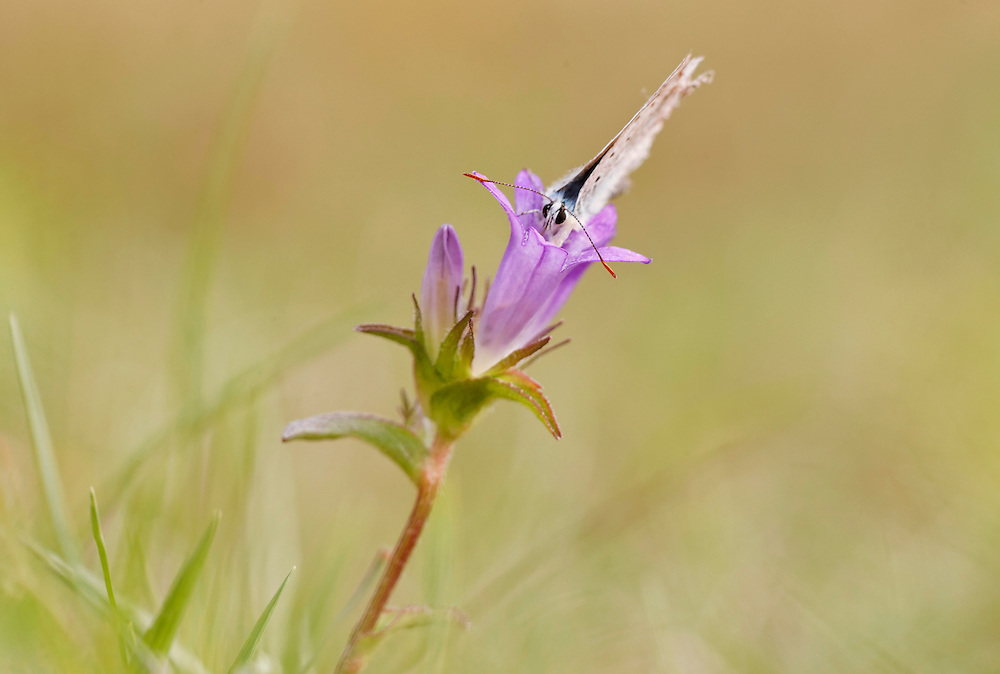 Bellflower (Nettle-leaved, campanula trachelium), Campanulaceae with blue butterfly, PNR Livradois Forez, site de Pileyre, Auvergne, France