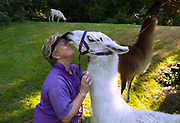 Image of a woman and her llamas in Covington, Washington, Pacific Northwest by Randy Wells