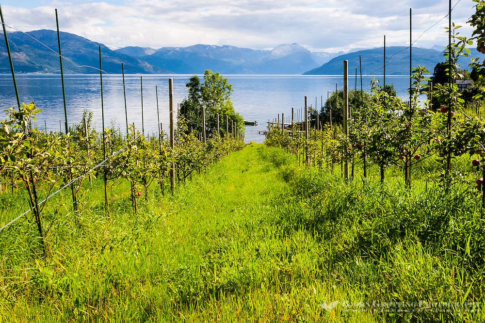 Norway, Strandebarm. Hardangerfjord, apple trees.