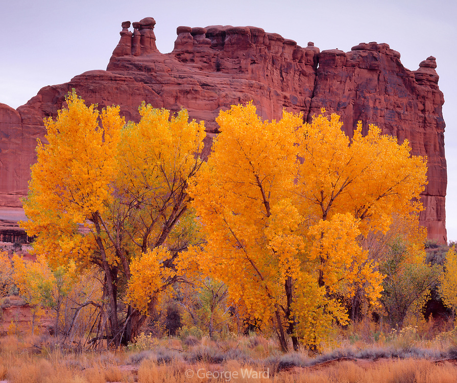 Autumn Cottonwood in Courthouse Wash, Arches National Park, Utah