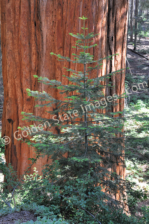 With young fir tree sprouting at its base.    <br />   <br /> Species: Sequoiadendron giganteum