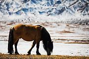 Mongolian horses (Equus ferus caballus) in a snowy Gobi Desert landscape of Mongolia, Gobi Desert, Mongolia
